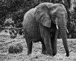 Mama and Baby Elephant I