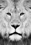Lion Portrait Print B&W
