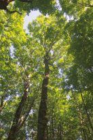 52767_h_Hardwood Forest Canopy I.jpg