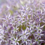 AF20190606 Allium 150_thumb.jpg